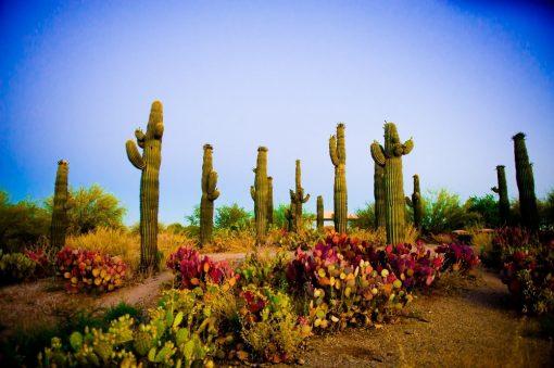 USA - Arizona - Mesa - Saguaros_at_Sunrise