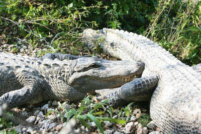 I Everglades er alligatorerne talrige.