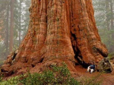 General Sherman er verdens største træ målt i masse.