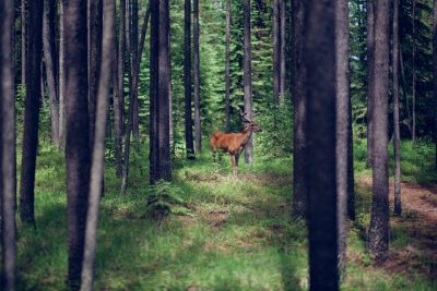 I Montana kan du opleve dybe, vilde skove - og du har det meste for dig selv.