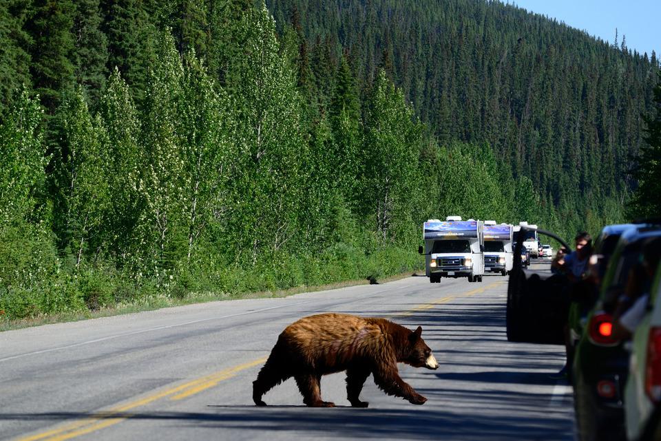 Autocamper Canada bjørn